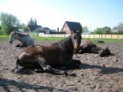 stallions and colts sleeping